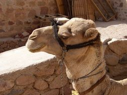 camel head in bridle at stone wall, egypt