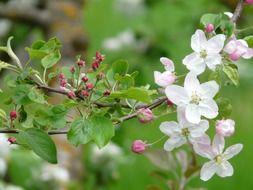 flowers on an apple tree branch