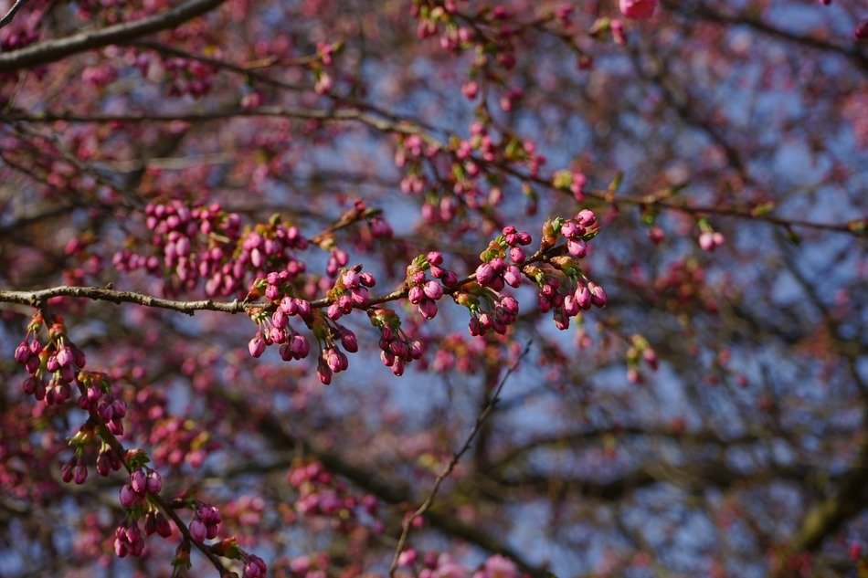 ornamental tree in spring
