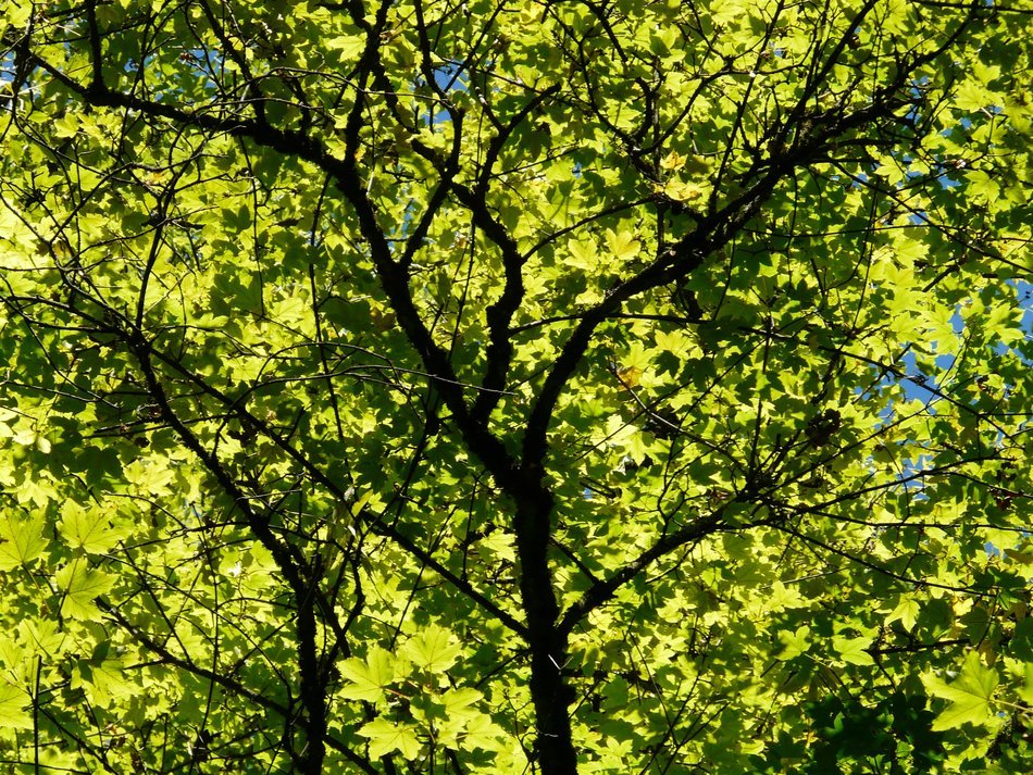 picture of green leaves on tree at the sunlight