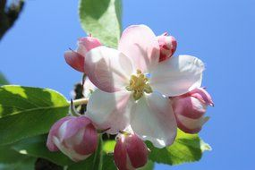 pink flowers on an apple tree branch