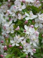 apple white blossoms tree