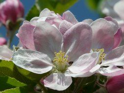 pink flowers of apple tree close up