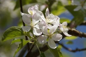 white flowers on the branch of an apple tree