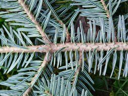 branch of blue spruce closeup