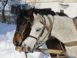 Domestic horses in winter