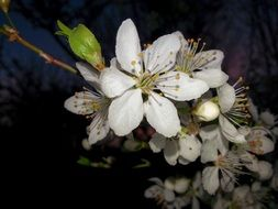 white flowers on an apple tree branch