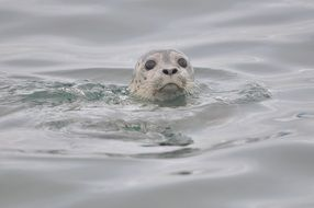 Cute harbor seal