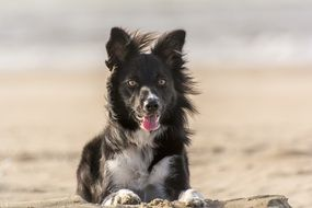 Collie dog on sand near the beach