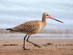 bar tailed godwit with long beak