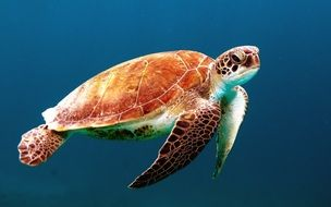 turtle tortoise swim sea