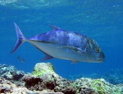 bluefin trevally fish swimming in blue waters