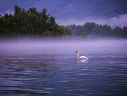 swan on the foggy lake