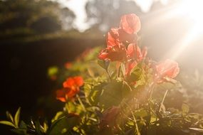 red flowers in the sunset light