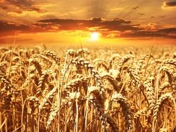 The painting depicts a golden field of wheat
