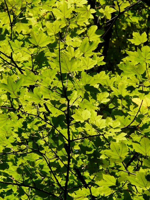 green leaves of a tree in the sunlight