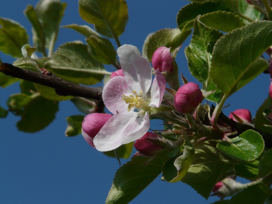 apple flower with buds on a branch
