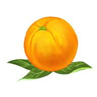 fruit orange Vector illustration hand drawn painted N2