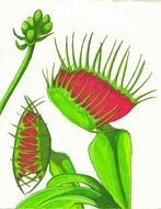 Venus Fly Trap Drawing