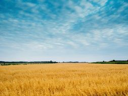 wheat field in the summer in sunny weather
