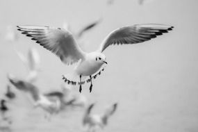 seagull flight black and white portrait