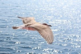 seagull in flight over the Mediterranean