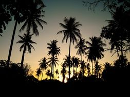 palm trees silhouettes sunset backlight