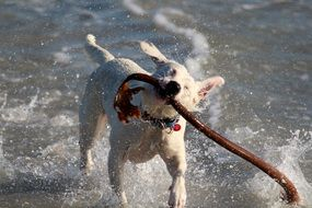 dog play in sea