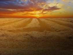 magnificent view wheat field cornfield cereals