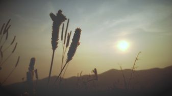 Silhouettes of wheat ears at sunset
