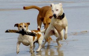 Dogs are playing on the beach
