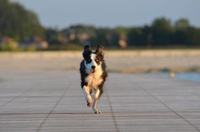 Running border collie doggy