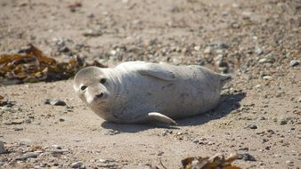 seal on Helgoland