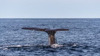 sperm whale tail over ocean water