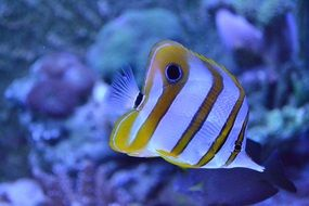 striped fish in an aquarium
