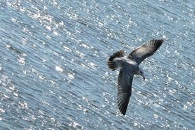 flying seagull over ocean