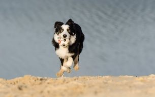border collie, young dog running on beach with toy in mouth