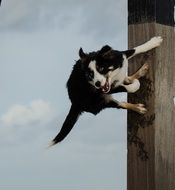 funny border collie dog jumps on pole