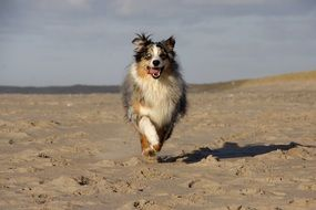australian shepherd, dog runs on beach
