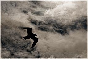 seagull flies in the clouds