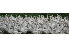 A lot of white geese