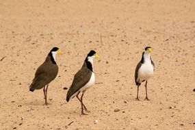 Spur-winged plovers in Sydney