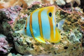 butterfly fish in water