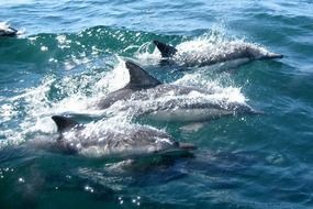 three dolphins swimming in water ocean sea