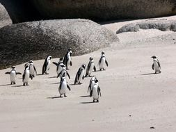penguins jackass beach sand