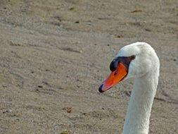 Swan with a long neck on the beach