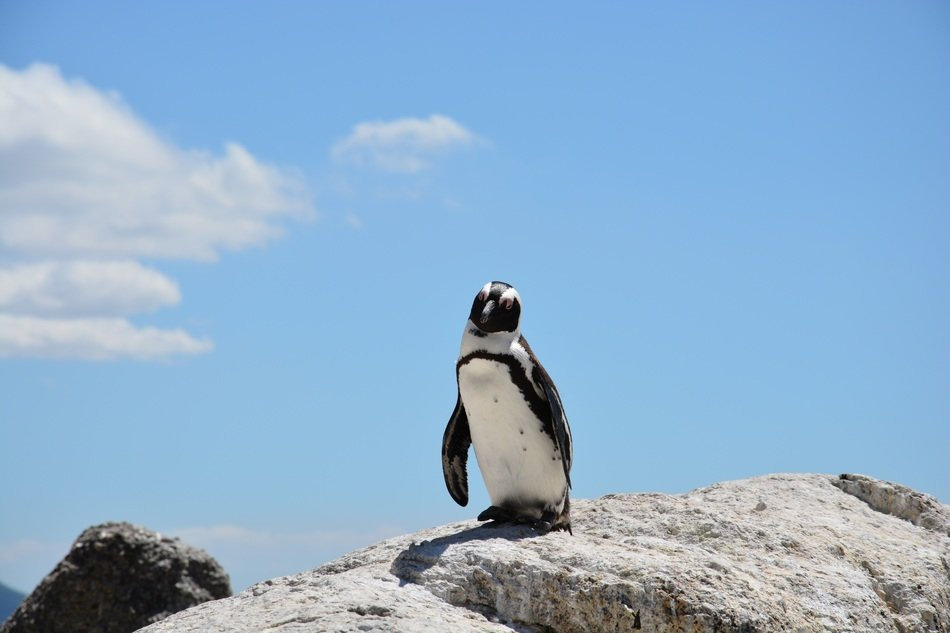wild penguin on rock beach in south africa