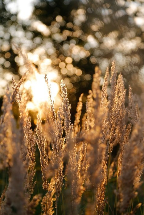 meadow grass in evening sun light