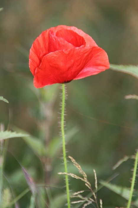 poppy camp flower