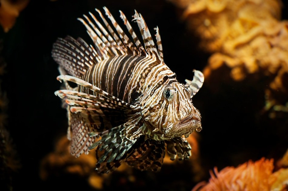 picturesque and pretty lionfish